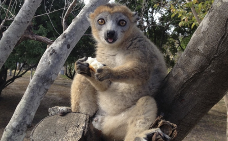 lemur babaomby